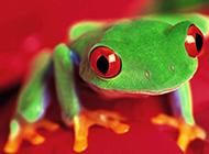 色彩妖艳的蛙类小动物图片