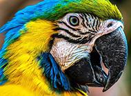 彩虹虎皮鹦鹉图片颜色斑斓迷人