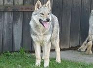 捷克狼犬帅气的幼犬图片
