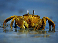 海滩奔跑上的海螃蟹图片