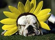 超可爱戴帽子的狗狗高清动物图片
