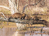 野外栖息的黄金海狸鼠图片