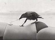 学坏了的乌鸦搞笑图