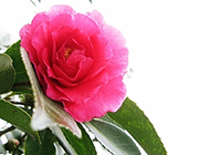 盛开红红的山茶花