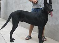 忠诚可靠的中华黑狼犬图片