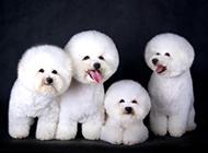 肉嘟嘟的纯白色卷毛比熊犬图片
