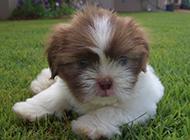 拉萨犬幼崽毛茸茸可爱模样图片