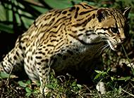 中国广西野生豹猫摄影图片欣赏