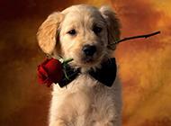 小金毛狗帅气写真图片