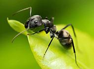 蚂蚁昆虫图片微距特写