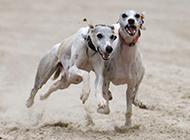 惠比特犬沙场赛跑图片