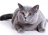贪吃的猫咪精致唯美高清大图