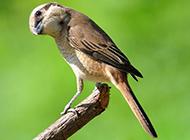 机灵敏捷的伯劳鸟图片