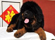 神态憨厚可爱的小藏獒犬图片