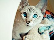 钻石眼暹罗猫图片壁纸大全