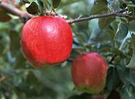 挂在树上的红苹果图片
