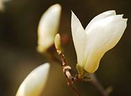 美丽的白色玉兰花图片