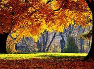 秋天迷人的枫树林图片