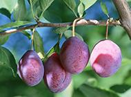 新鲜红嫩李子水果高清大图壁纸
