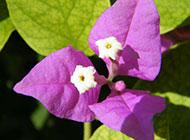 紫色三角梅原创鲜花摄影图片