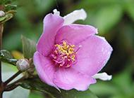 雨后清新的粉色木芙蓉花图片