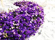 紫色的美丽玫瑰花图片素材
