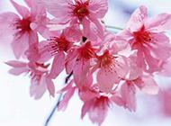 樱花图片唯美春日背景素材