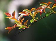 娇嫩发芽的绿色树叶图片