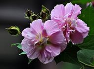 野生木芙蓉图片颜色清丽