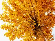 秋天精美银杏树叶特写图片