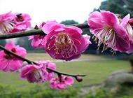 春天清新粉嫩樱花摄影图片