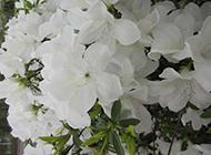 白杜鹃花卉图片