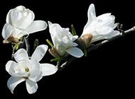 白色玉兰花图片特写素材