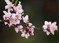 娇嫩素雅的樱花摄影作品