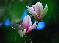 春天的紫玉兰花清新脱俗
