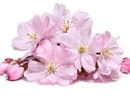 唯美粉色樱花图片素材下载