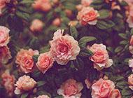森系复古玫瑰花图片 唯美素材