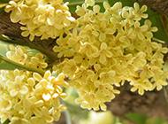 八月桂花飘香四溢唯美植物壁纸
