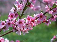 粉色桃花图片摄影特写
