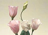 粉色玫瑰背景图优雅美丽
