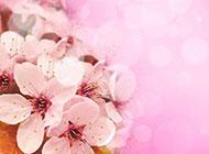 婚纱照背景图片素材粉色花海