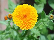 绽放的黄色野菊花特写图片