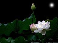 白荷花优美夜色图片