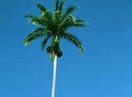 高大挺拔的椰子树图片