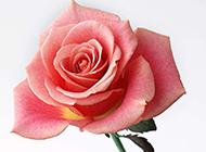 单只粉色玫瑰花背景图片