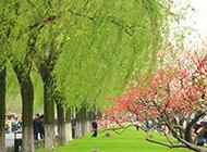 春天柳树图片绿意烂漫迷人