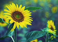 黄色向日葵花图片背景大全