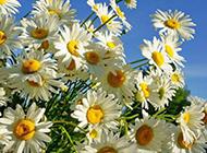惹人喜爱的雏菊图片