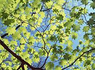 春季清新唯美绿色枫叶图片