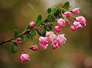 粉色花图片唯美背景摄影照片